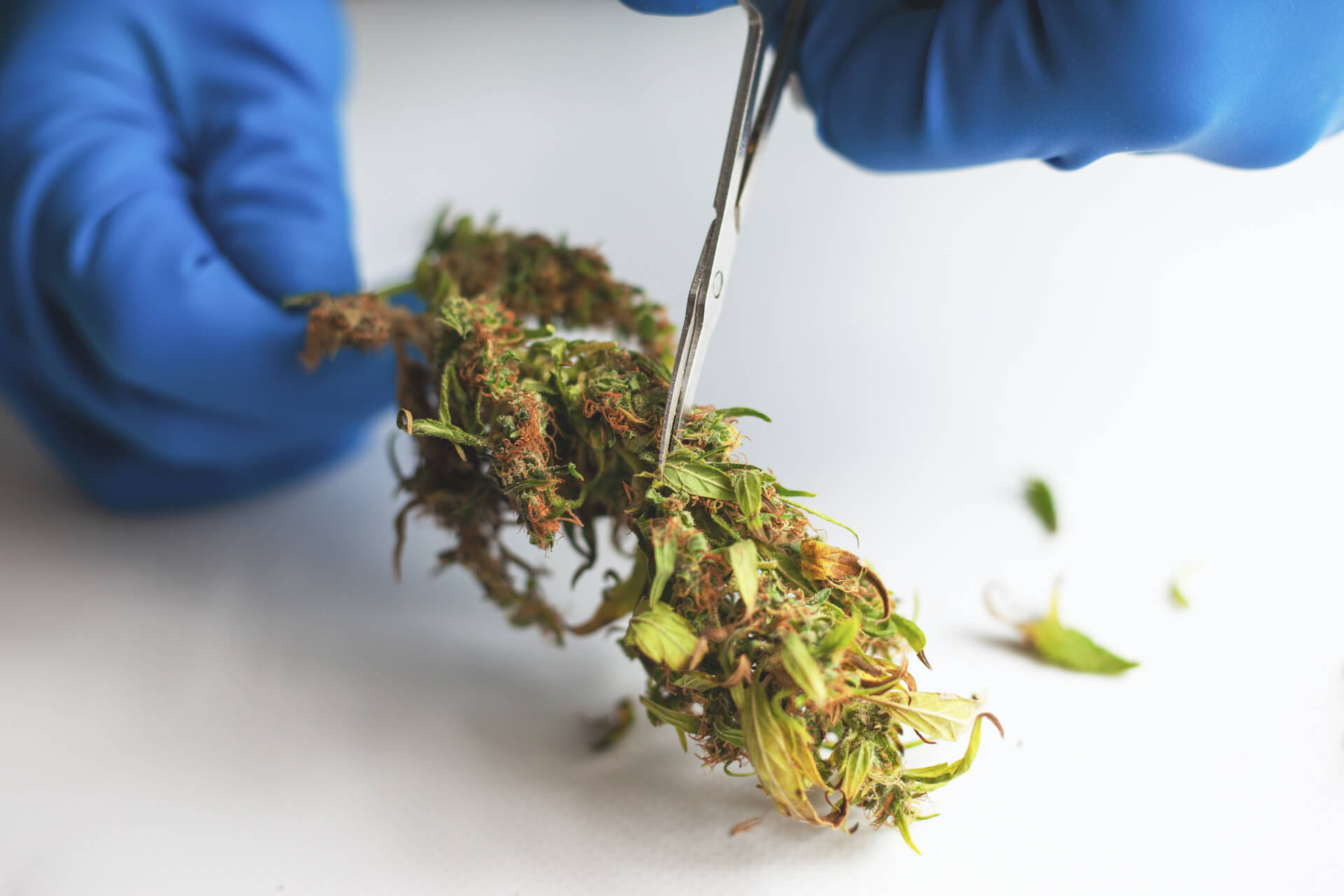 trimming-manicuring-buds-cannabis